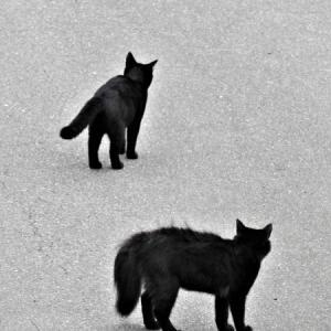黒猫親子が朝散歩