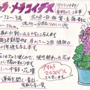 秋・冬の花~プリムラメラコイデス~