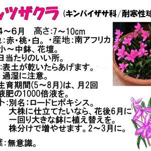 球根植物 ~アッツ桜~