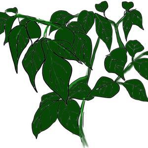 観葉植物 ~ステレオスペルマム~