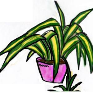 観葉植物 ~オリヅルラン~