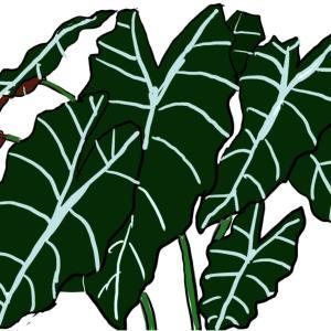 観葉植物 ~アロカシア・アマゾニカ~