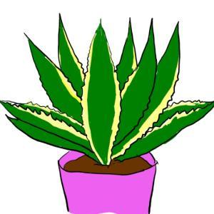 観葉植物 ~アガベ~