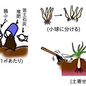 球根植物 ~エシャロット(=エシャレット)~