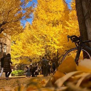 黄金色の散歩道を求めて「東京大学」へサイクリング