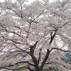 飯能で桜の3名所めぐり(難易度☆2)
