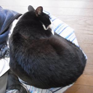 飽きると寝てしまう飼い猫です