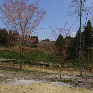 ドッグランの隣の杉林 伐採しましたよ~