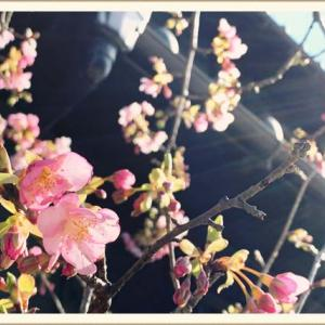 【川越】うなっ子の河津桜がまもなく見頃をむかえます【2020】