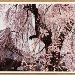 【川越】姿を変えて戻ってきた樹齢100年超のしだれ桜の大樹【栄林寺】