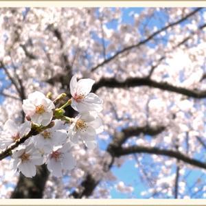 【サクラ】2020年の川越の桜を写真でお楽しみください【サク】
