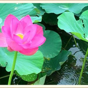 【川越】伊佐沼の水面に咲く大輪の蓮(ハス)の花