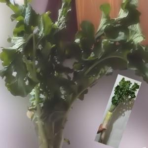 大根パワー?大根の葉っぱ!
