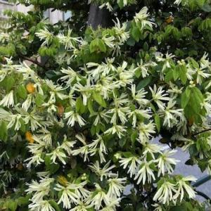 街路樹のトキワマンサクが満開です