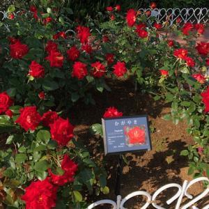芝浦中央公園のバラが咲き始めました・・・
