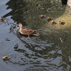 今年も高浜運河にはカルガモの赤ちゃん・・・