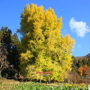 【長野県飯山市】樹齢500年超 母乳の出が良くなると伝えられる大イチョウ