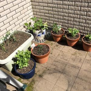 ベランダ菜園、始めます。