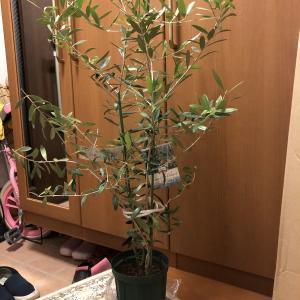 オリーブの木を買いました。