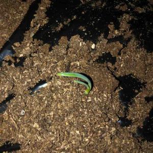 【ホーム玉ねぎ】植えつけから2週間、ついに発芽