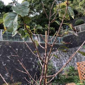【台風一過】10月のソメイヨシノ
