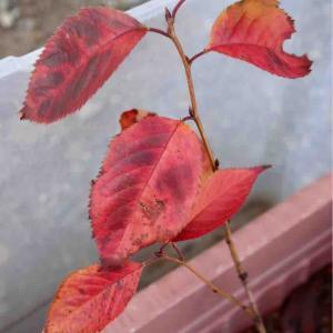 挿し木したソメイヨシノの紅葉