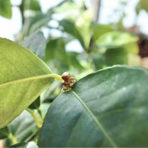 ライムの花芽
