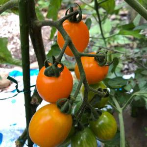 ミニトマト初収穫/ピーマンも順調(6/20)