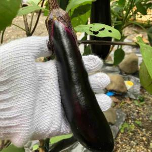 ナス、インゲン豆、ミニトマト収穫(7/18)