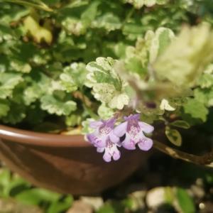 お庭の小さなお花たち