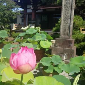 蓮の花と平等院鳳凰堂