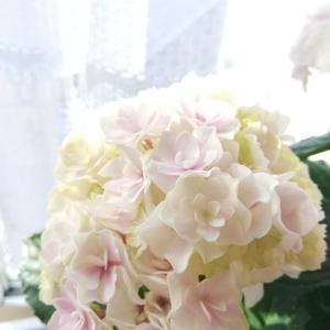 一目惚れした紫陽花✿