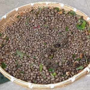 ムカゴの収穫