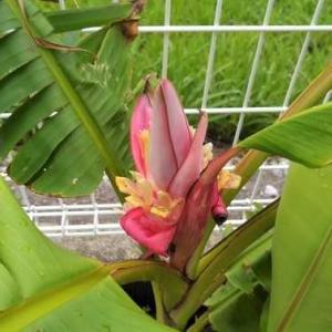 ピンクバナナ咲きました。