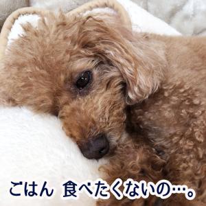 肥満細胞腫グレードⅢ『余命半年』と宣告された愛犬との日々㊹「急激な食欲減退」