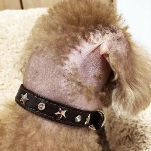 肥満細胞腫グレードⅢ『余命半年』と宣告された愛犬との日々㊻「脱毛の経過」