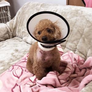 肥満細胞腫グレードⅢ『余命半年』と宣告された愛犬との日々(53)「手術②後10日目」
