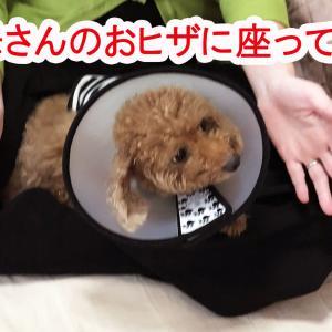 肥満細胞腫グレードⅢ『余命半年』と宣告された愛犬との日々㉟「愛のエリカラ巻き」