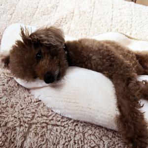 肥満細胞腫グレードⅢ『余命半年』と宣告された愛犬との日々㊳「ゆるやかな治癒」