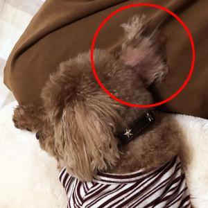 肥満細胞腫グレードⅢ『余命半年』と宣告された愛犬との日々㊴「脱毛の始まり」