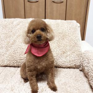 肥満細胞腫グレードⅢ『余命半年』と宣告された愛犬との日々㊶「プロのトリミング」