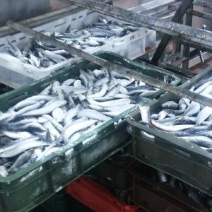 クロアチア産マグロの日本市場と共に、EU市場でもシーフードの輸出が上昇