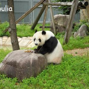 パンダとコアラを一緒に見る