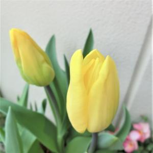 今日のベランダ 黄色のチューリップ