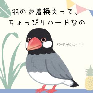 桜文鳥の桜ちゃん、換毛期。ぼさぼさの羽から艶々の美文鳥に戻るまで