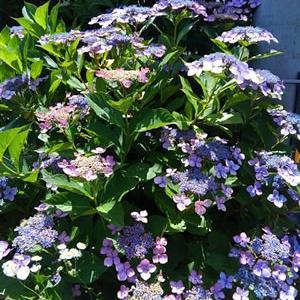 お向かいさんの庭にあじさいがきれいに咲いていた