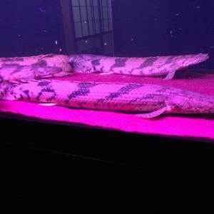 ④飼育魚紹介 新魚ギニアワイルドエンドリ