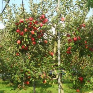 南の国でもリンゴが育つ