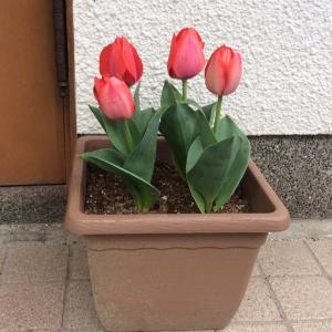 春に咲く・・・チューリップ