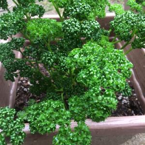 家庭菜園の定番~パセリ・・・ベランダ栽培はいかがですか?